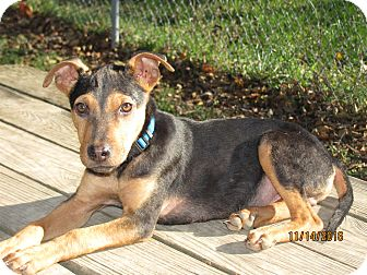 Shepherd (Unknown Type) Mix Puppy for adoption in Homer, New York - Delta Major