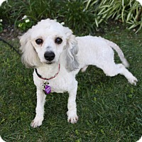 Adopt A Pet :: SINCLAIR - Newport Beach, CA
