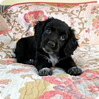 Adopt A Pet :: Rogue - Austin, TX