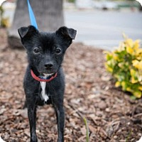 Adopt A Pet :: Brooke - Oceanside, CA