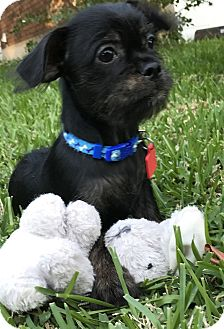 Dachshund/Chihuahua Mix Puppy for adoption in Arlington, Texas - Lily