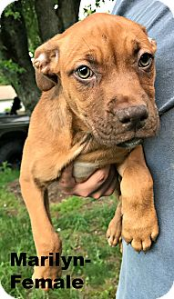 Boxer/American Pit Bull Terrier Mix Puppy for adoption in Virginia Beach, Virginia - Marilyn