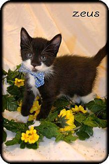 Domestic Shorthair Kitten for adoption in Oviedo, Florida - Zeus