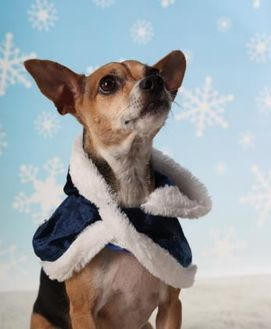 Chihuahua/Rat Terrier Mix Dog for adoption in Garland, Texas - Audrey