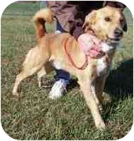 Golden Retriever Mix Dog for adoption in Osseo, Minnesota - Brody
