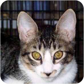 Domestic Shorthair Cat for adoption in Port Lavaca, Texas - Pluto