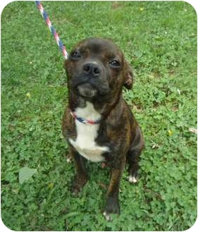 Boston Terrier Mix Dog for adoption in Londonderry, New Hampshire - Nelson