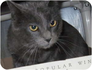 Domestic Shorthair Cat for adoption in Stillwater, Oklahoma - Lily