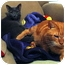 Photo 3 - Domestic Shorthair Cat for adoption in Trenton, New Jersey - Winston (in foster)