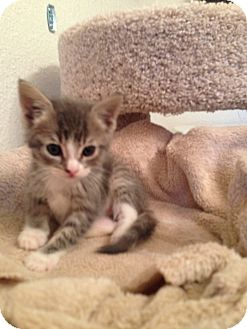 Domestic Shorthair Kitten for adoption in Fountain Hills, Arizona - NICK