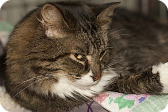 Domestic Longhair Cat for adoption in Lombard, Illinois - Casey