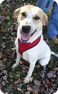 Labrador Retriever/Hound (Unknown Type) Mix Dog for adoption in Lebanon, Maine - Jasmine