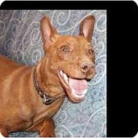 Adopt A Pet :: Pharoh - Phoenix, AZ