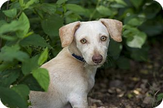 Chihuahua/Terrier (Unknown Type, Small) Mix Puppy for adoption in Edmonton, Alberta - Chief