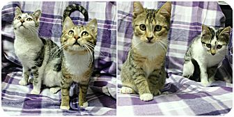 Domestic Shorthair Kitten for adoption in Forked River, New Jersey - Sneezy & Bashful
