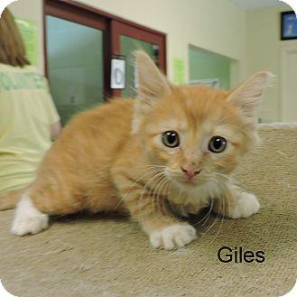 Domestic Shorthair Kitten for adoption in Slidell, Louisiana - GIles