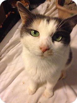 Calico Cat for adoption in Baltimore, Maryland - Splash