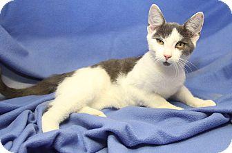 Domestic Shorthair Cat for adoption in Marietta, Ohio - Fritz (Neutered)