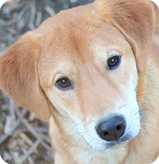 Labrador Retriever Mix Dog for adoption in Wakefield, Rhode Island - CHANCE(BEYOND ADORABLE LAB PUP