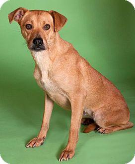Labrador Retriever/Terrier (Unknown Type, Medium) Mix Dog for adoption in Chicago, Illinois - Emily*ADOPTED!*