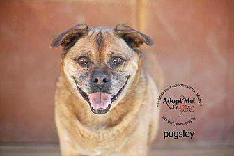 Pug Mix Dog for adoption in Toluca Lake, California - Pugsly