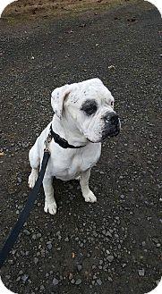 American Bulldog Dog for adoption in Sheridan, Oregon - Tank