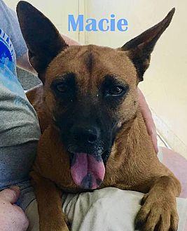 Labrador Retriever/Rat Terrier Mix Dog for adoption in Orangeburg, South Carolina - Macie