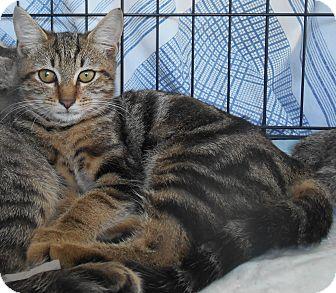 Domestic Shorthair Kitten for adoption in Parkton, North Carolina - Stormy