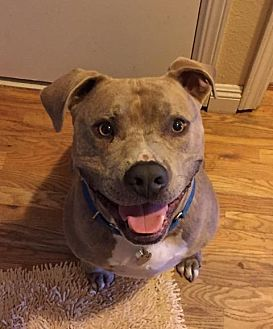 American Pit Bull Terrier Mix Dog for adoption in Rancho Santa Margarita, California - ZZ-Stryker  *courtesy post