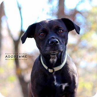 Boston Terrier/Dachshund Mix Dog for adoption in Edwardsville, Illinois - Queen