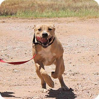 Bull Terrier/Labrador Retriever Mix Dog for adoption in Marble Falls, Texas - China