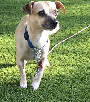 Chihuahua/Dachshund Mix Dog for adoption in Santa Monica, California - Mr Boo