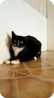 Domestic Shorthair Cat for adoption in Fairmont, West Virginia - Turtle