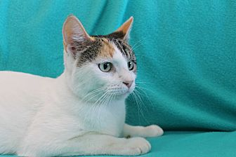 Domestic Shorthair Cat for adoption in Wichita Falls, Texas - Little Mama 2