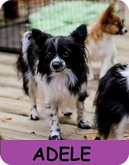 Papillon Dog for adoption in Nesbit, Mississippi - Adele