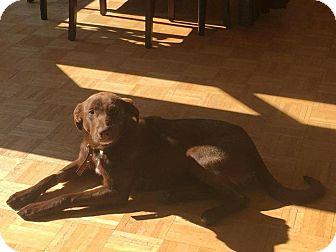 Labrador Retriever Mix Dog for adoption in Manhasset, New York - Lulu Belle