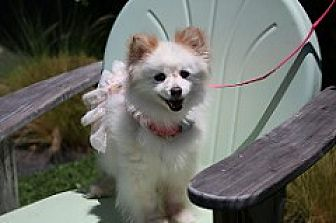 Pomeranian Mix Dog for adoption in Fountain Valley, California - Princess