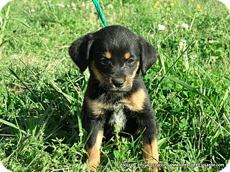 Australian Shepherd/Labrador Retriever Mix Puppy for adoption in Waterbury, Connecticut - JASMINE/ADOPTED