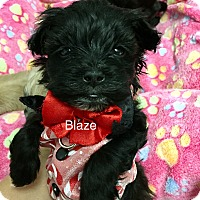 Adopt A Pet :: Blaze - Brea, CA