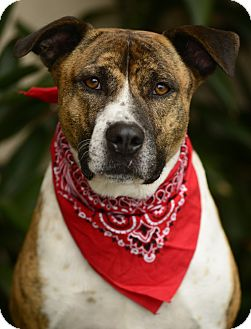 Pit Bull Terrier Mix Dog for adoption in Los Angeles, California - Peter
