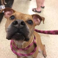 Adopt A Pet :: Casanova - Chattanooga, TN