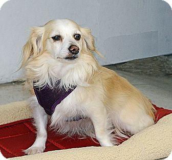 Pomeranian Mix Dog for adoption in San Jose, California - Apollo