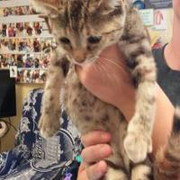 Domestic Shorthair/Domestic Shorthair Mix Cat for adoption in Savannah, Tennessee - Alli