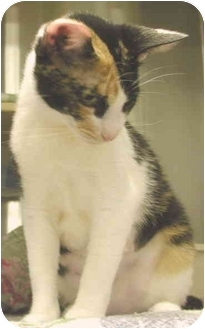 Domestic Shorthair Cat for adoption in San Diego, California - Callie