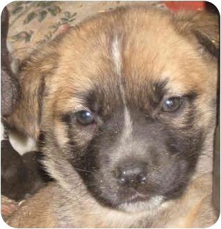 Shepherd (Unknown Type)/Labrador Retriever Mix Puppy for adoption in Poway, California - Rascal Pups