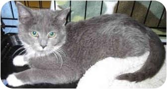 Domestic Shorthair Kitten for adoption in Catasauqua, Pennsylvania - Stravinsky