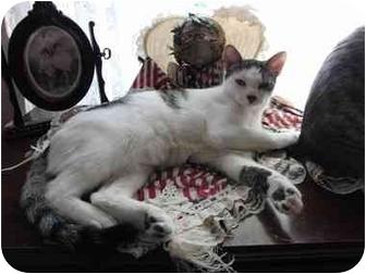 Domestic Shorthair Cat for adoption in Little Falls, New Jersey - Carmela (MMc)