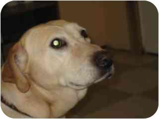 Labrador Retriever Dog for adoption in Libby, Montana - Lucy