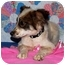 Photo 1 - Australian Shepherd/Shepherd (Unknown Type) Mix Puppy for adoption in Broomfield, Colorado - Dixie