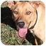 Photo 3 - Rhodesian Ridgeback/Labrador Retriever Mix Puppy for adoption in Santa Rosa, California - Masha (SIAR foster)